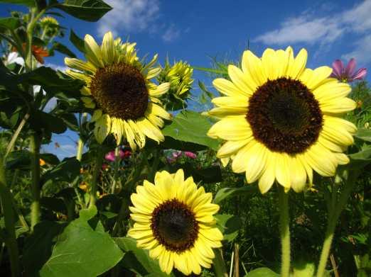 2018_sunflower2