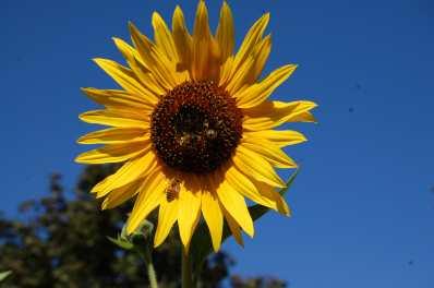 2018_sunflower4