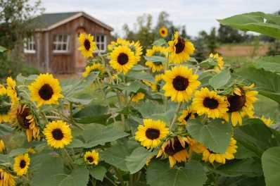 2018_sunflower5