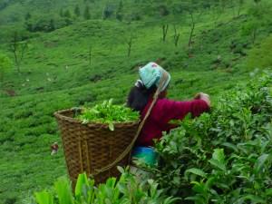 Hard work: a tea picker at the Jungpana Tea Estate Darjeeling, India