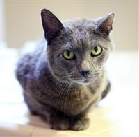 Bagheera the Diabetic Cat wants Fortune to Find a Furever Home
