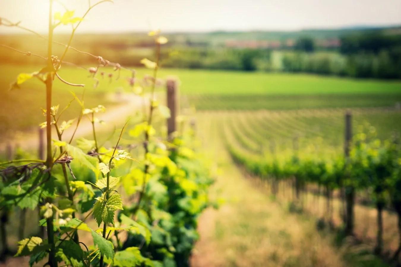 corona wijngaard