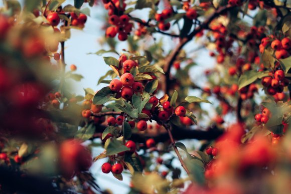 rosehips are one of our favorite herbs to boost immunity.