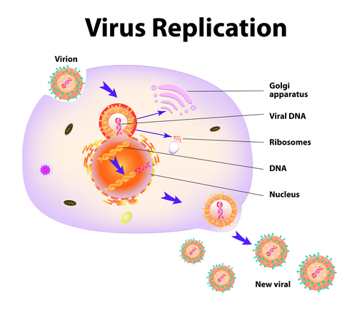 Scheme of virus replication cycle. Vector illustration