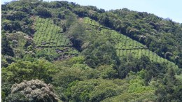 Tea plantation in forest area