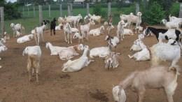 Goat husbandry in India