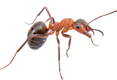 Fire Ants Red Ant Control Get Rid Of