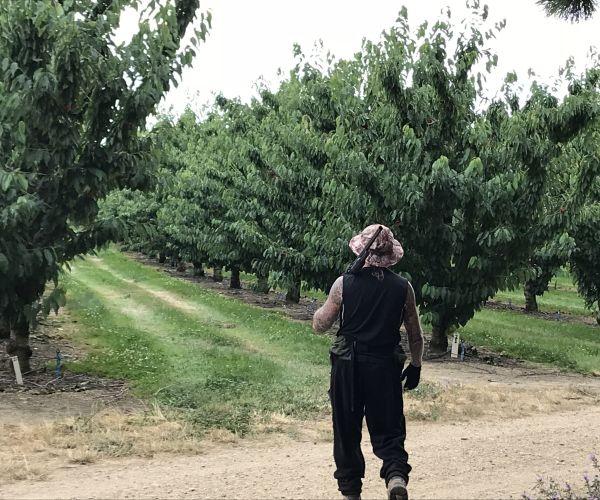 cherry pickers, cerezas, nueva zelanda, temporada en nueva zelanda, temporada cherries en nueva zelanda
