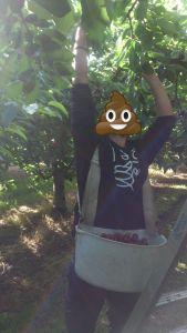 pickers, picker, canada, picker canada, cherry picker, cerezas, recoger cerezas canada, cherry seasons, temporada de cerezas