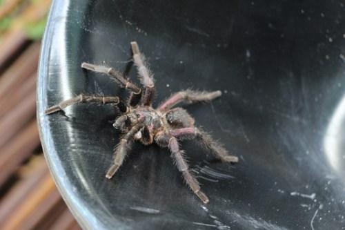 Tarantula #1