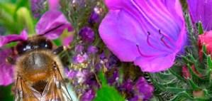 Blue Borage Honey