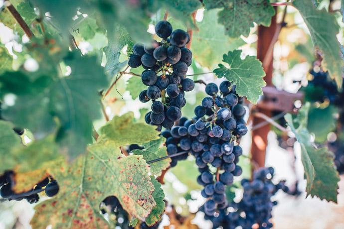 Weintrauben Schrebergarten