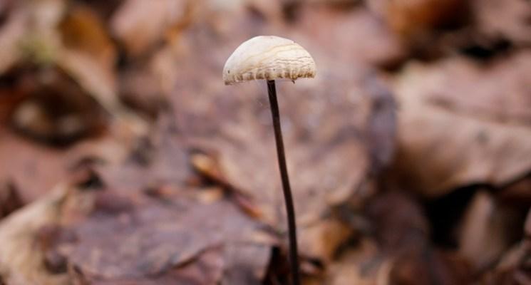 Bild langstieliger Knoblauchschwindling , Pilz