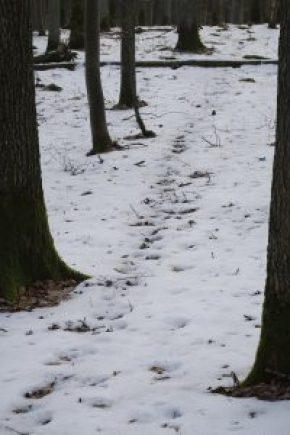 Spuren von Rehen im Schnee