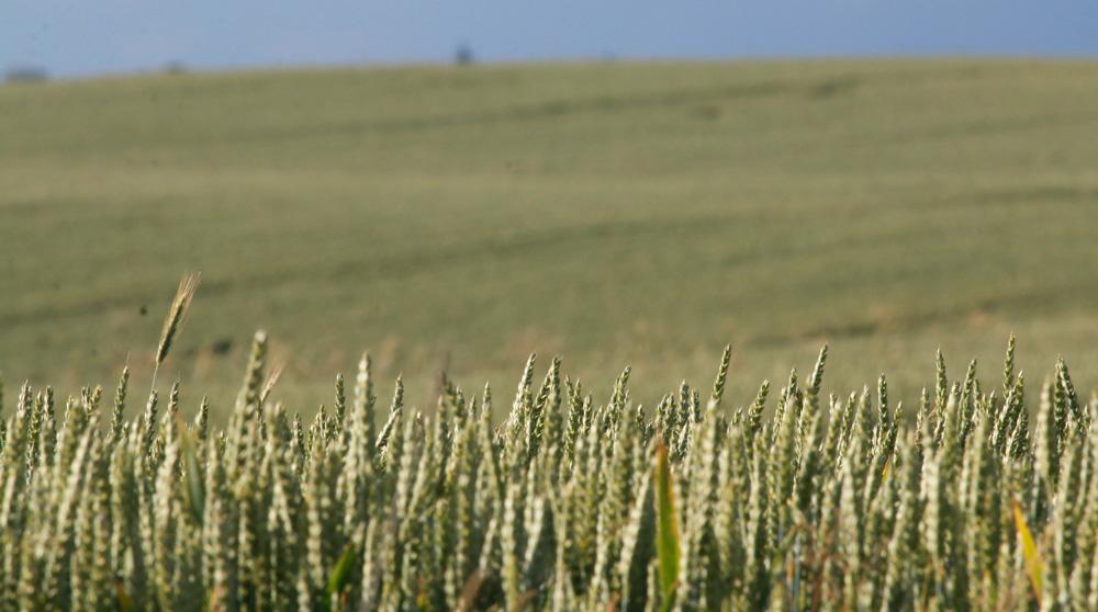Weizen bis zum Horizont – Artenvielfalt in der Kulturlandschaft?