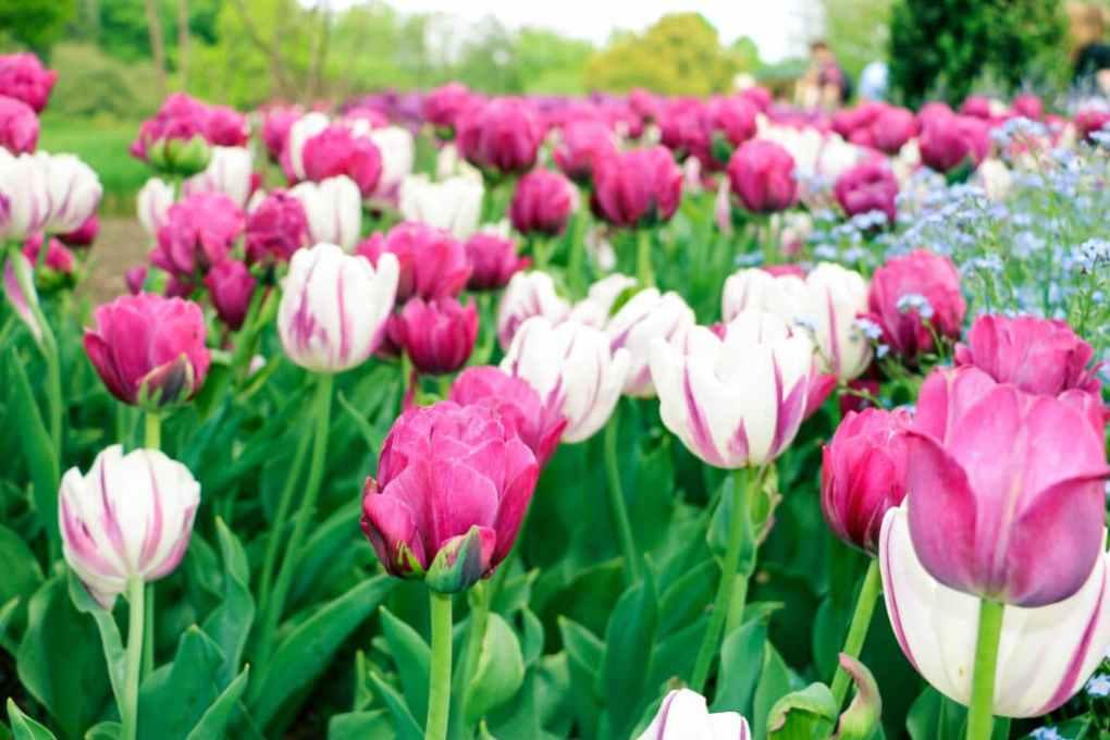 Tulips at Longwood Gardens