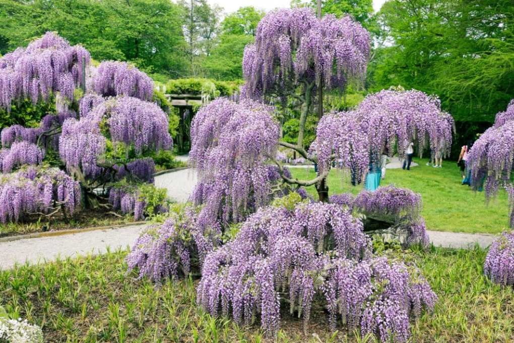 Wisteria trees at Longwood Gardens.