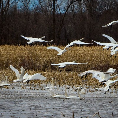 Spring Brings Swans to Shiocton, Wisconsin