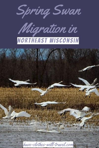 swan migration in Shiocton, Wisconsin
