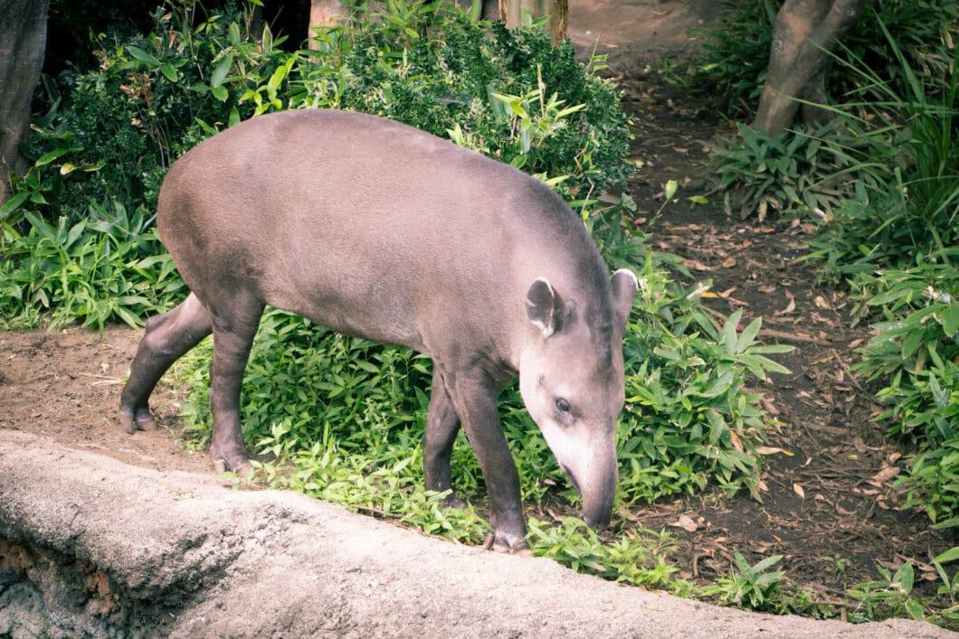 tapir ueno zoo