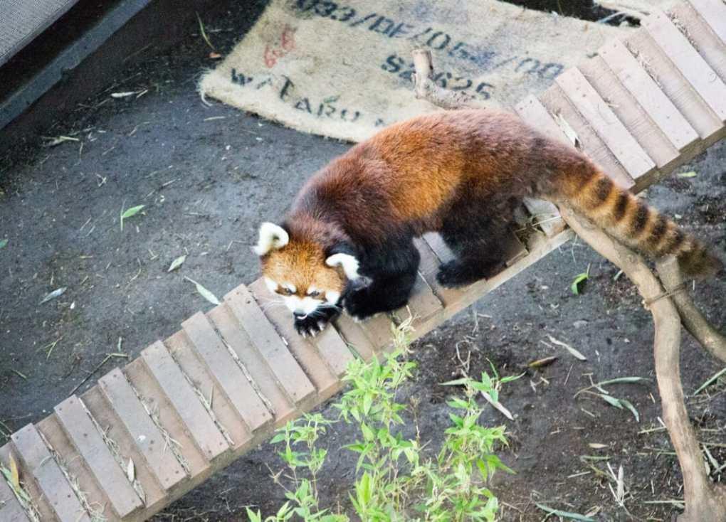 Red panda Ueno zoo