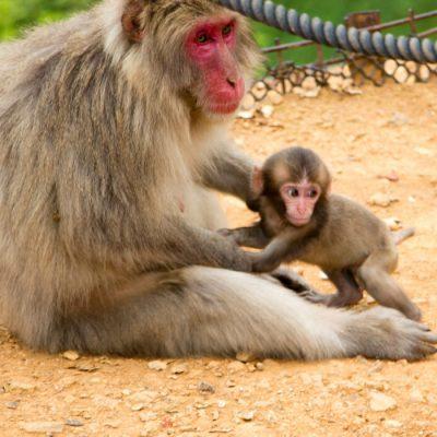 Visiting Iwatayama Monkey Park & Arashiyama Bamboo Grove in Kyoto