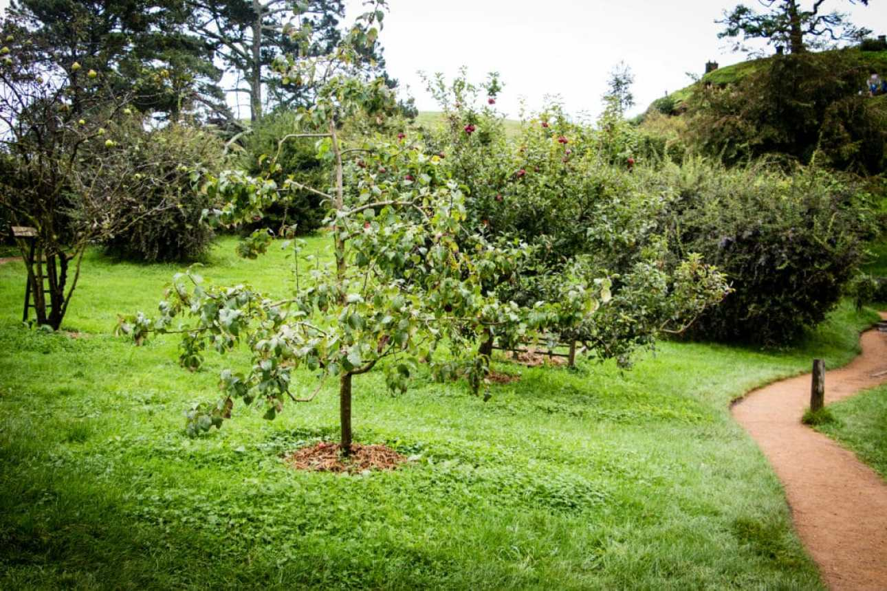 plum tree in Lord of the Rings