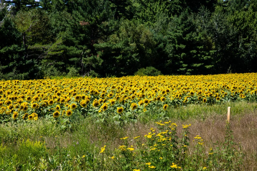 sunflower field Wisconsin
