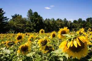 sunflower field Wisconsin