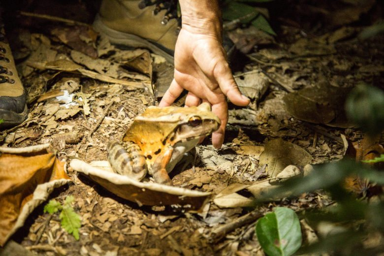 huge frog in the amazon