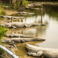 Alligator Adventure in North Myrtle Beach