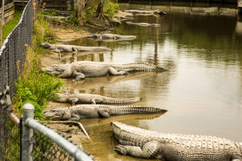Alligator Adventure in North Myrtle Beach