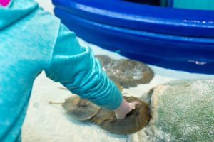 Horseshoe crab exhibit