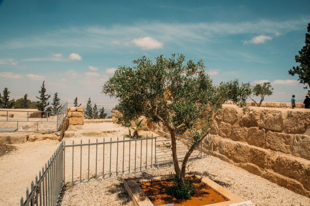 olive tree on Mount Nebo