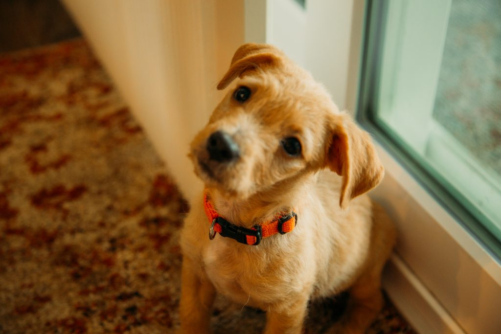 New adopted puppy from Saving Paws in Appleton, Wisconsin - Meet Buddy!