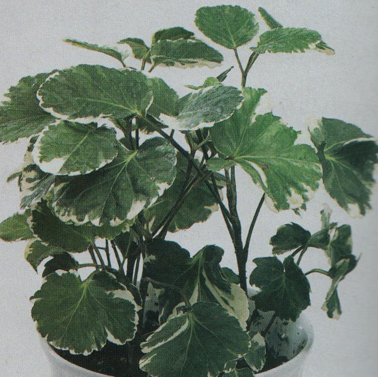 Large Leaf House Plants