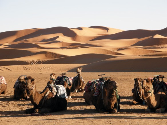 Camels waiting for riders, Erg Chebbi near Xaluca in Morocco.