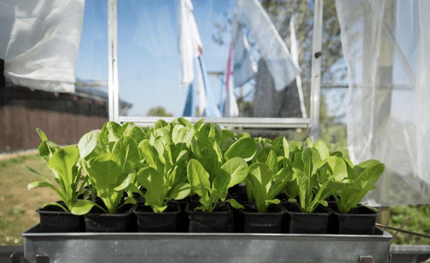Romanie-salaten er klar til udplantning