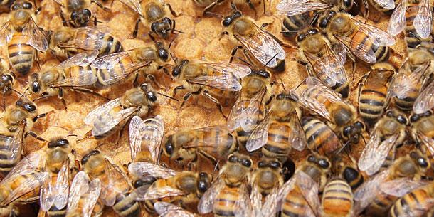 Varroa Mite Linked To Destructive Honeybee Virus