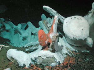 Fallen whale carcasses are home to species that rely on the unique habitat (photo credit: Craig Smith)