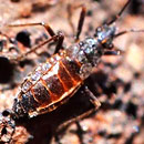Wekiu bug