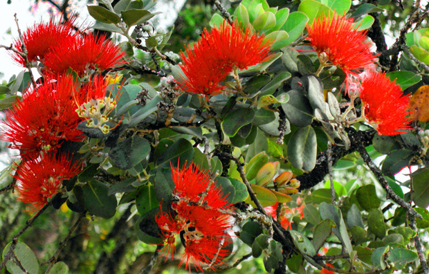 ohia tree with blossoms