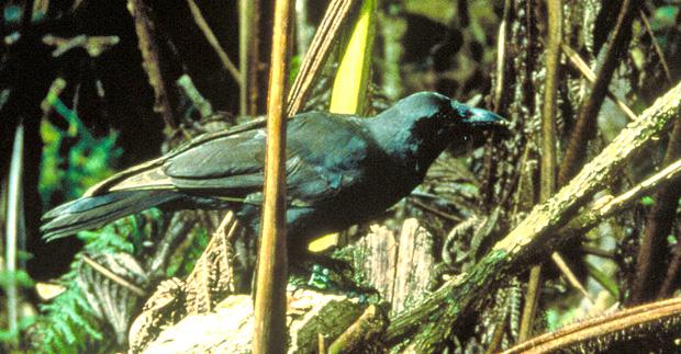 Hawaiian crow
