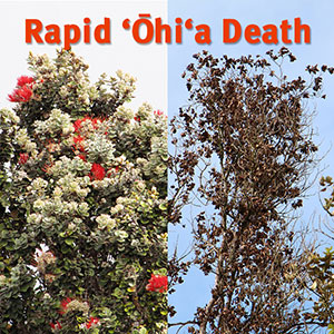 healthy and dying ohia trees