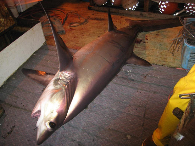 Bigeye thresher shark, photo courtesy of NOAA Fisheries