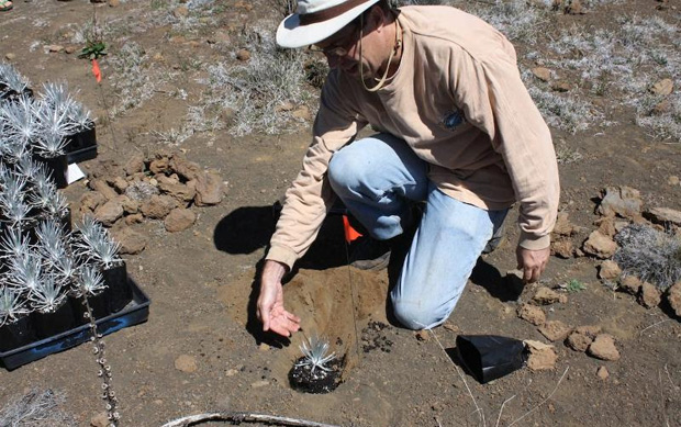 replanting the endangered silversword