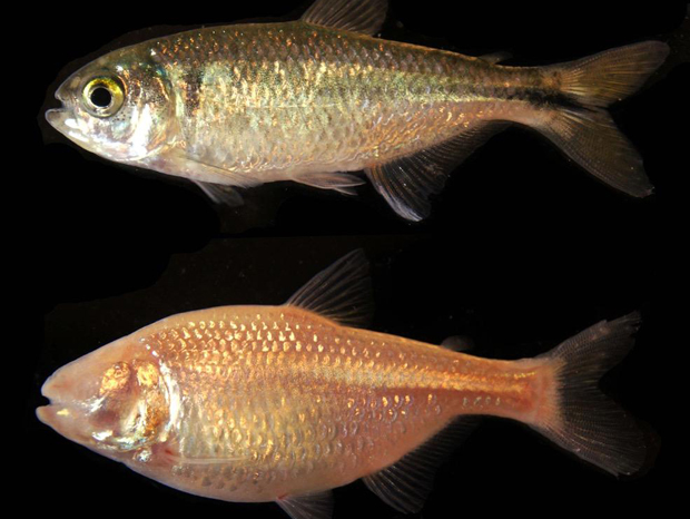 Surface fish (top) vs. cavefish