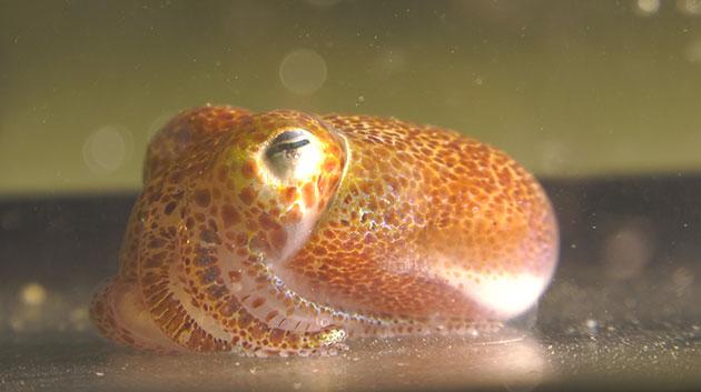 Native Squid And Its Bacterium May Help Human And Environmental Health