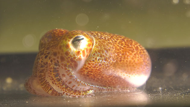 Native Squid And Its Bacterium May Help Human And Environmental Health