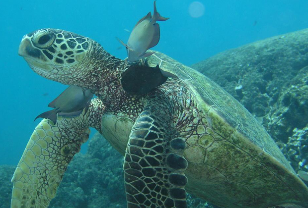 Green sea turtle swimming with cleaner fish